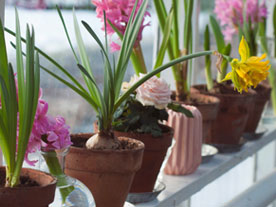 Spring Flowers in Winter? Yes, It's Possible!